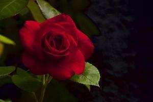 fascination rose