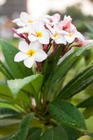 fleurs blanches. photo