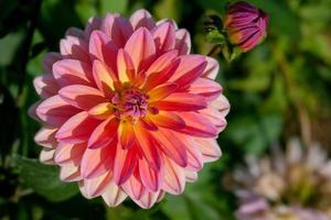 fleur de dahlia photo