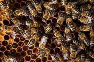 Plan macro d'abeilles grouillant sur un nid d'abeilles photo