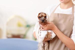 yorkshire terrier après la procédure de lavage photo