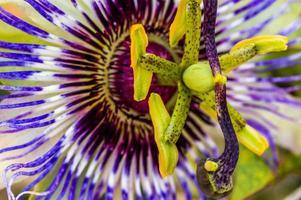 fleur de la passion (vignes de la passion) photo
