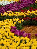 tulipes fleurs photo