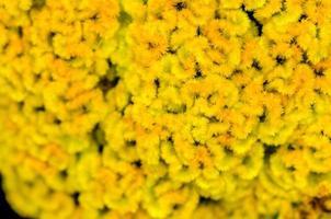 fleur de crête de coq photo