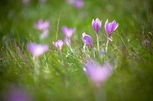 fleur violette photo