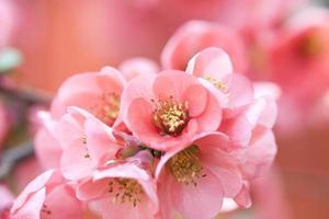 fleurs roses photo