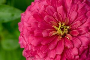 fleur de zinnia photo