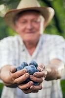 vieil homme tenant des prunes biologiques photo