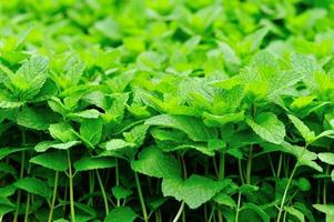 plantes de menthe photo