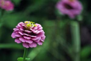 fleur mauve photo