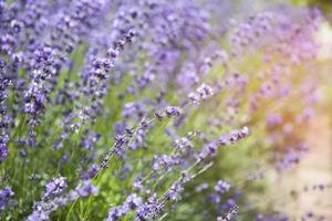 fleurs de lavande photo