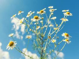 fleurs de camomille photo