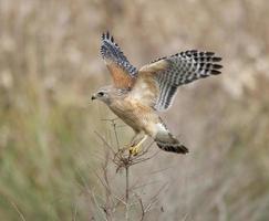 faucon entrant pour l'atterrissage photo