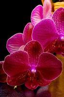belle orchidée bordeaux dans un panier jaune sur fond noir photo