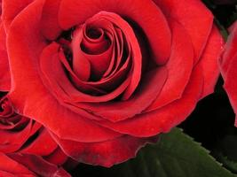 Rose. photo