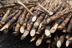 champ de canne à sucre tiré photo