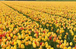 culture de tulipes