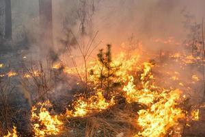 feu de forêt dans un peuplement de pins photo
