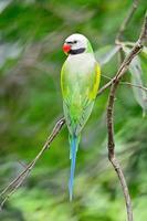 perruche à poitrine rouge mâle