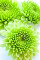chrysanthème vert isolé sur fond blanc photo