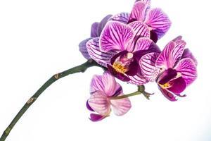 fleur d'orchidée striée rose, isolé photo