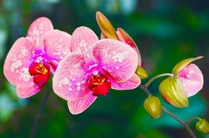 belle orchidée rose vanda photo