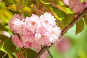 cerise japonaise au printemps photo