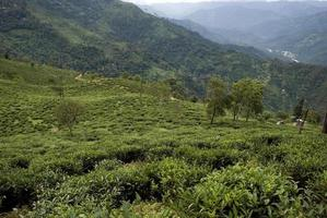 Jardin de thé, Bengale occidental, Inde photo