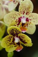 fleurs d'orchidées