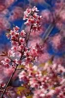 prunus aux cerises de l'Himalaya photo