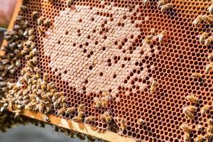 cadre avec du miel et des abeilles photo