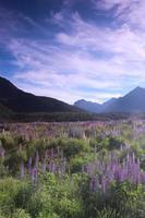 fleurs de lupin devant une chaîne de montagnes