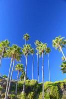 palmiers de la plage de laguna