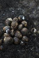 coquilles d'escargots après le feu de forêt photo