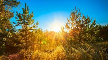 journée ensoleillée en été arbres de forêt de conifères ensoleillés. bois nature