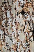 écorce d'arbre texturée