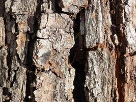 texture d'écorce d'arbre photo