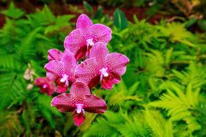 orchidée parfumée en pleine floraison