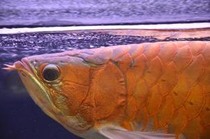 arowana asiatique photo