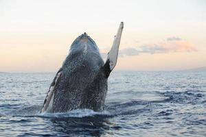 briser la baleine à bosse photo