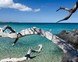 branches de bois sec blanc atteignant des roches de lave à la plage 69, photo