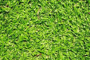 beaucoup d'herbe verte asiatique