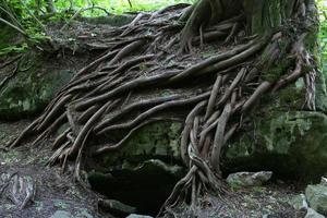 racines d'arbres magiques photo