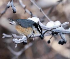 Sittelle à poitrine rousse en hiver