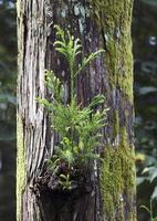 arbre de cèdre photo