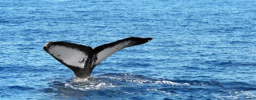 Baleine à bosse plongeant au large des côtes d'Hawaï photo