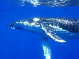 baleine à bosse photo