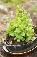 Plante succulente verte dans une poêle en fonte photo