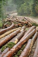bûches d'arbres fraîchement hachées photo
