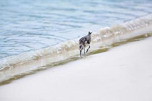moqueur sur la baie de tortuga photo
